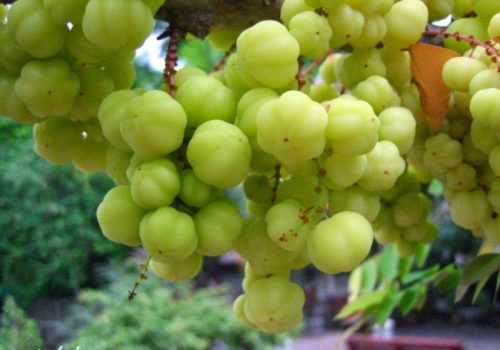 What are benefits of a cermai fruit for health?