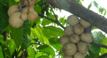 What are benefits of duku for health?