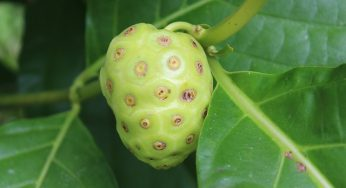 What is benefits of mengkudu / Morinda citrifolia / Noni?