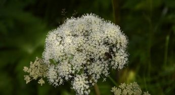 Angelica herb plant: benefits, definition, side effects
