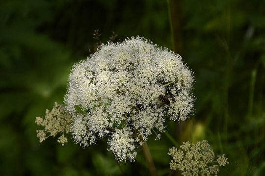 benefits of angelica herb plant for health