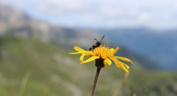 Arnica: benefits, how to, side effects