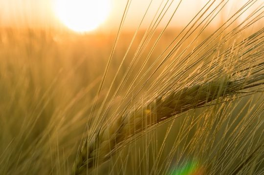 benefits of barley for health