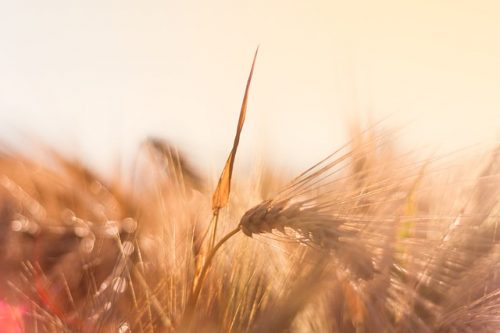 benefits and side effects of barley