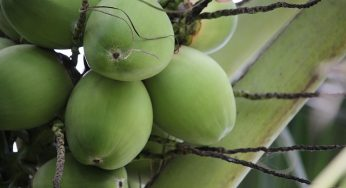 What are benefits of young coconut meat for health?