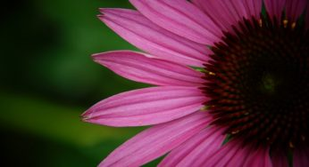 What are the benefits of echinacea flower for health?