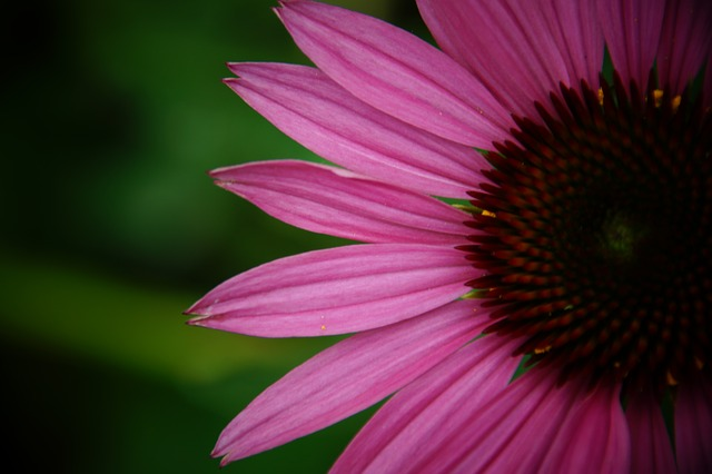 what are benefits echinacea flower for health