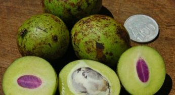 What are benefits of gandaria fruit for health?