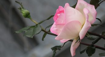 20 Benefits of Roses for Health and Beauty