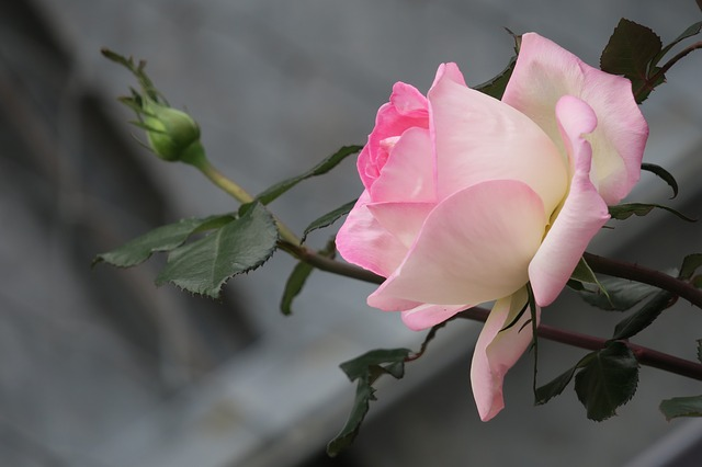 benefits of rose flower for health