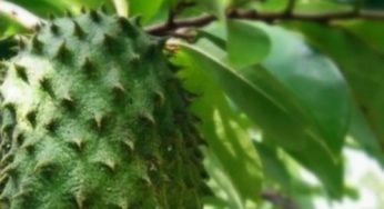 Benefits of Soursop Fruit for Pregnancy / Pregnant Women and Their Fetuses