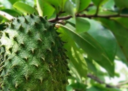 Soursop Fruit Benefits for Pregnant Women and Their Fetuses