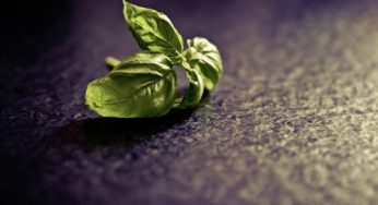 Basil: benefits, side effects and interactions