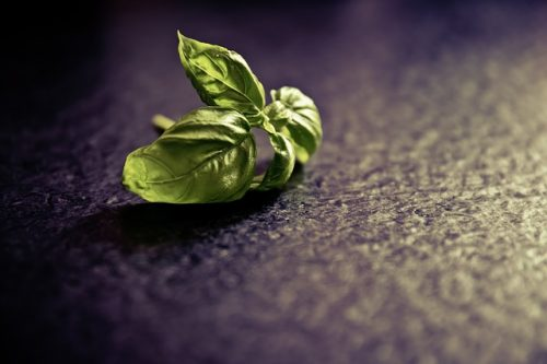 basil: benefits side effects
